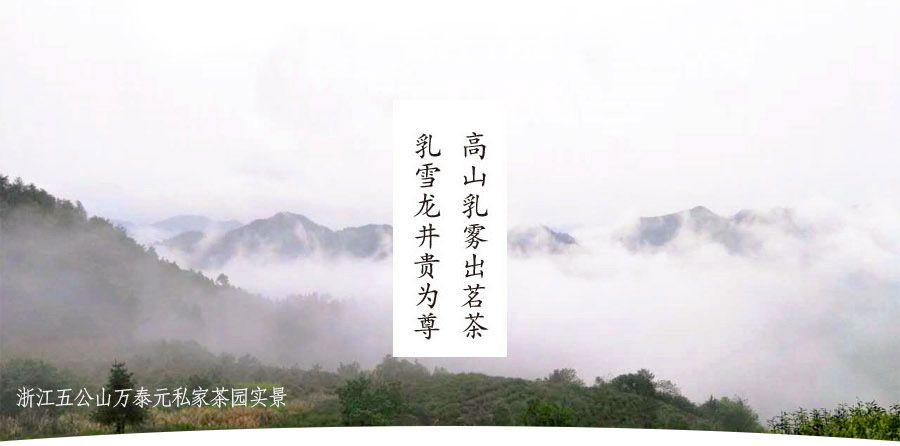 乳雪龙井详情(祥)山顶图